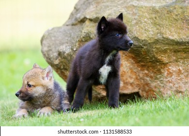 The gray wolf (Canis lupus) also known as the timber wolf,western wolf or simply wolf. Young wolf puppy in green grass.Two puppies, gray and black, sit by the rocks.