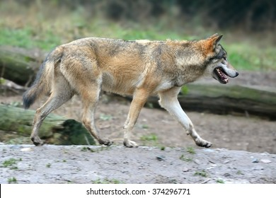 Gray wolf (Canis lupus) on the track
