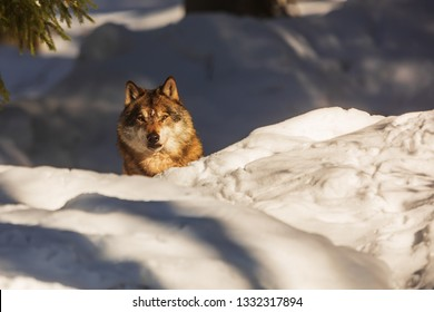 gray wolf (Canis lupus) Only the head is seen from the snow