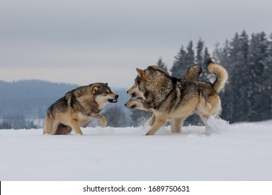 gray wolf (Canis lupus), the pack is fighting