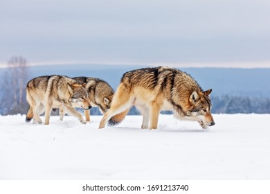 gray wolf (Canis lupus) pack wanders the snowy landscape