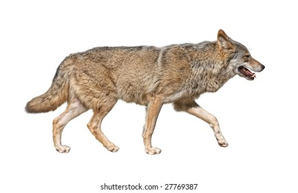 Gray wolf (Canis lupus) run in hunting pursuit side view cutout