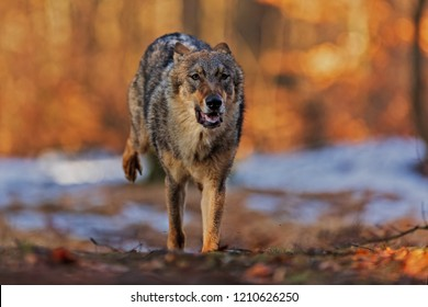 gray wolf (Canis lupus) is running