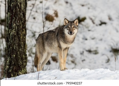 Gray wolf, Canis lupus, standing in a snowy winter forest.