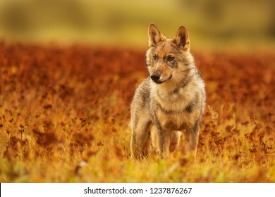 gray wolf (Canis lupus) very nice portrait