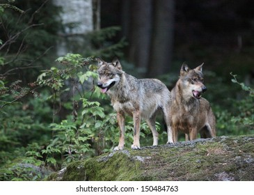 Gray wolf  (Canis lupus) Vlk obecny