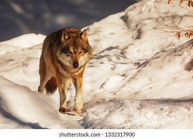 gray wolf (Canis lupus) is walking at snowy scenery