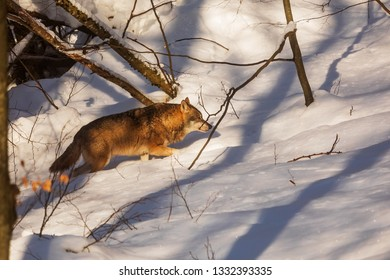 gray wolf (Canis lupus) walks through snow-covered nature