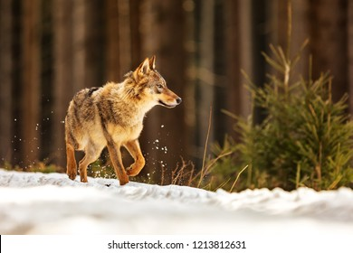 gray wolf (Canis lupus)is runing around snowy forest