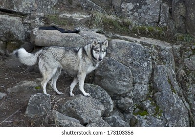 A gray wolf dog standing on shaded gray rock canyon steps