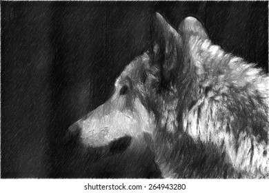 gray wolf drawing. dangerous animal in the forests of Europe
