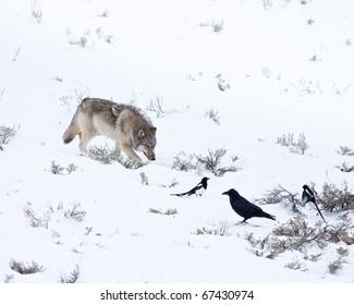 Gray Wolf during winter time in Yellowstone