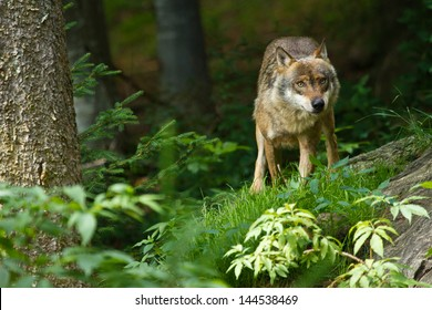 Gray wolf or grey wolf (Canis lupus)