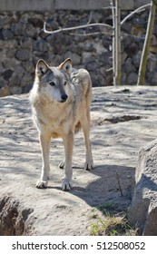 The gray wolf or grey wolf , also known as the timber wolf or western wolf, is a canid native to the wilderness and remote areas of Eurasia and North America. Beautiful wolf in Kiev zoo.