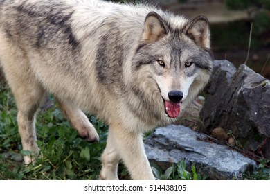The gray wolf or grey wolf, also known as the timber wolf or western wolf