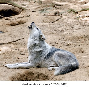 Gray wolf laying down on the ground howling.