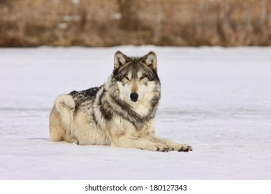gray wolf laying in snow