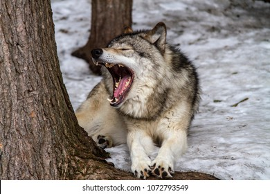 Gray Wolf in mid yawn at a wildlife park in Quebec Canada