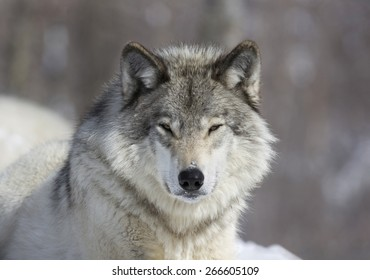 gray wolf outdoor