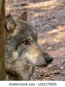 Gray Wolf Portrait Facing to the right