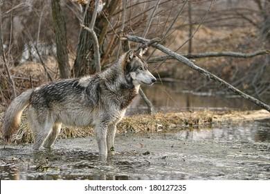 Gray wolf profile