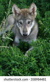 Gray wolf pup in grass