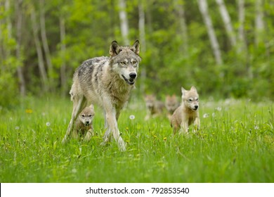 Gray Wolf With Pups