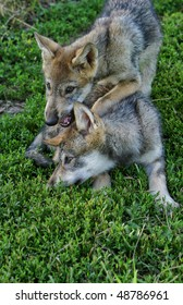 gray wolf pups playing