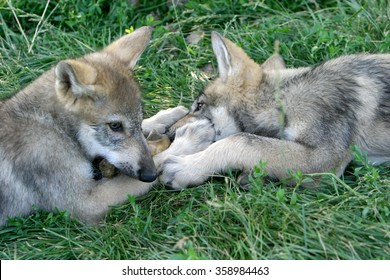 Gray wolf pups playing in grass