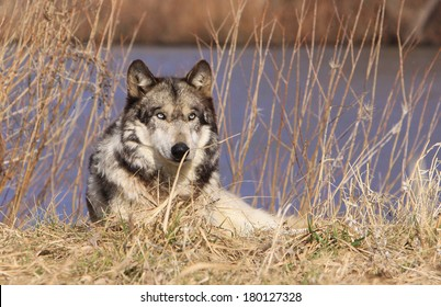 gray wolf resting in grass