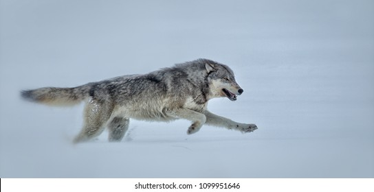 Gray Wolf running in Yellowstone National Park Agnieszka Bacal.