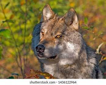 Gray Wolf showing out from behind bushes, autumn colors and beautiful light.