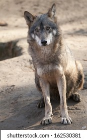 Gray Wolf Sitting
