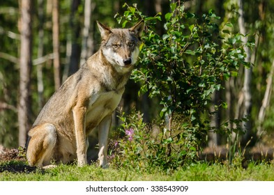 Gray wolf sitting in a forest in summer time