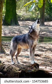 Gray wolf standing on a log and howling.
