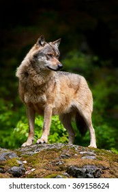 Gray wolf standing on the rock.