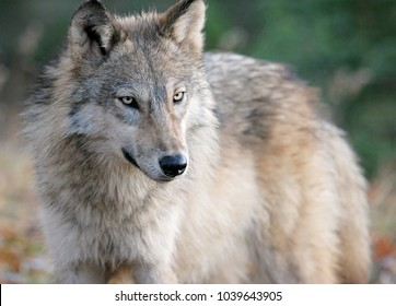 Gray wolf or timber wolf in wooded autumn surroundings.