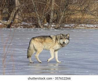 gray wolf walking on ice