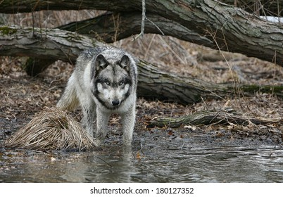 gray wolf in water