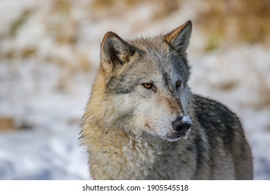 Gray wolf at winter pond, Canis lupus, snowy background