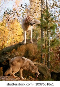 gray wolves in autumn scene.  Animals in captivity