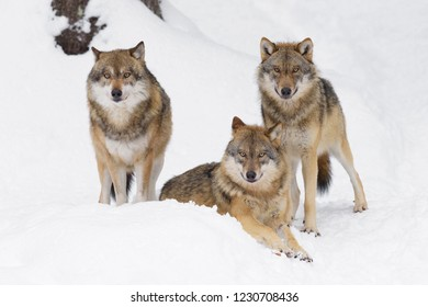 Gray wolves in winter, Germany, Europe