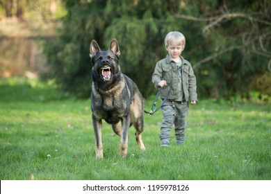 Gray working line German shepherd dog guarding human kid