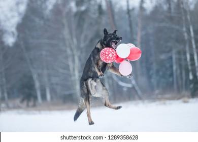 Gray working line German shepherd dog angry on valentines day - heartbreak