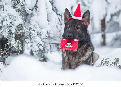 Gray working line German shepherd dog portrait for Christmas