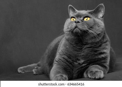 Gray-blue cat of the British breed lies and looks up