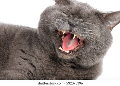 Gray-blue cat yawns on a white background