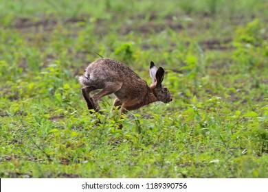 A gray-brown hare runs across the field with green grass, touching the front paws of the earth