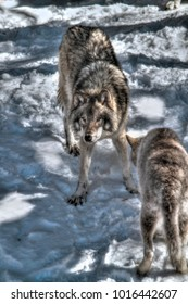 Gray/Grey wolves near sunset