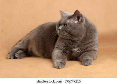 Gray-haired cat lies on a light-crooked background and looks sid